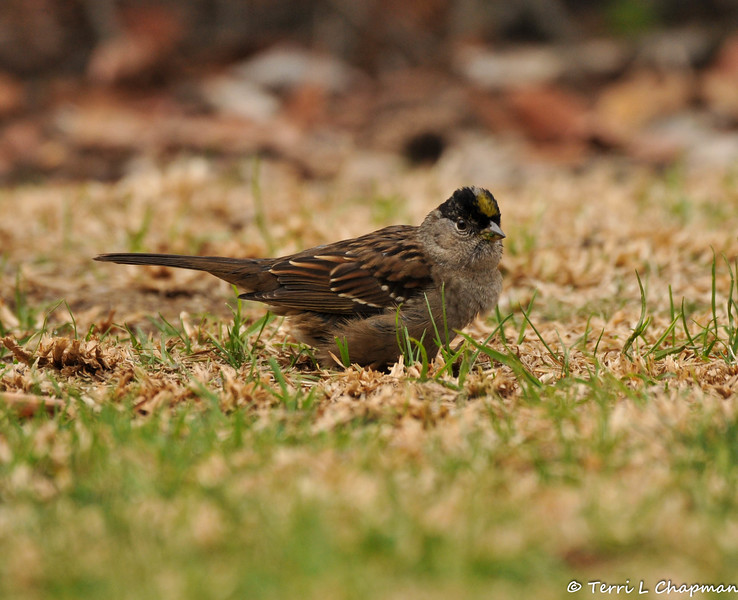 A Golden-crowned Sparrow
