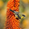 A male Lesser Goldfinch, hanging on a blooming Hot Poker plant, so he could sip nectar