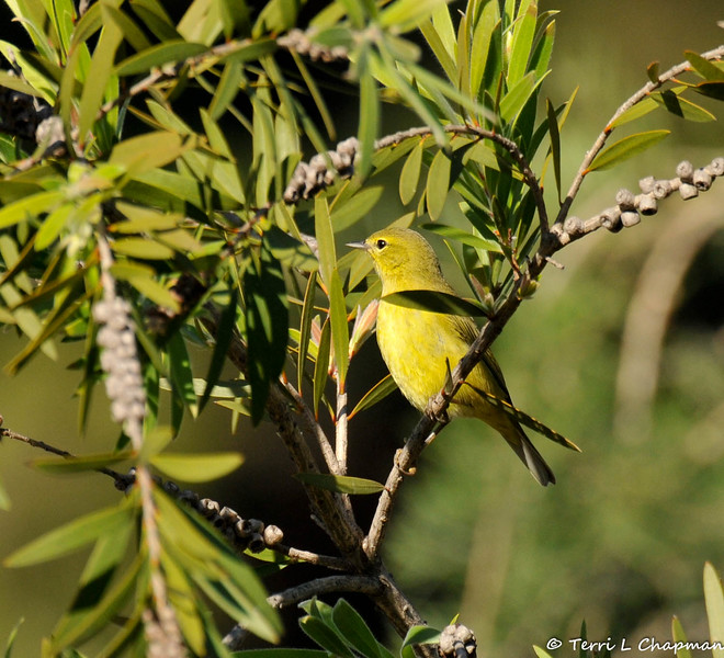 An Orange-crowned Warbler perched in a bottlebrush plant