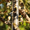A flock of migratory American Goldfinches at a thistle feeder in my back yard
