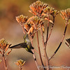 A female Anna's Hummingbird sipping nectar from a succulent