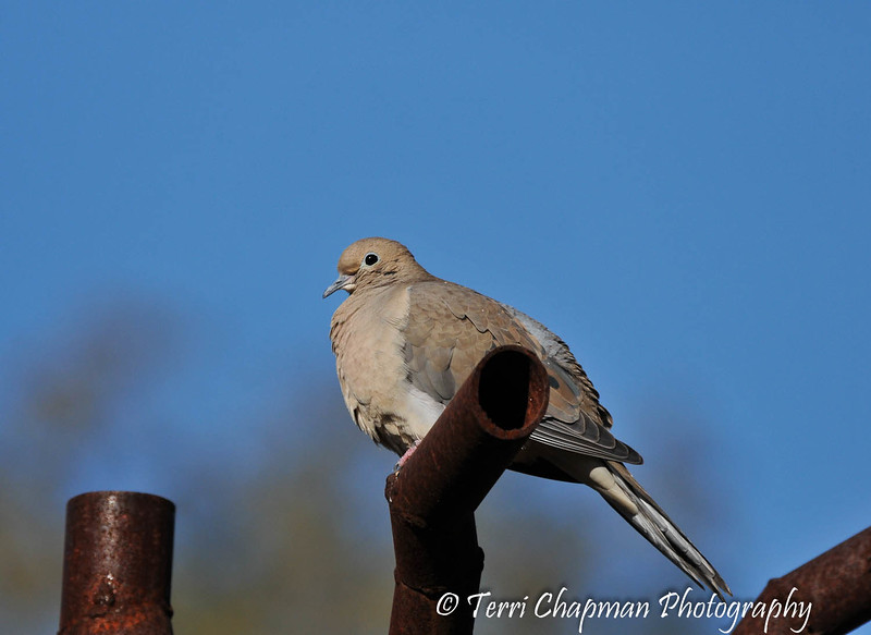 A Mourning Dove sunning itself, on an art sculpture, on a cold winter morning.