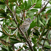 A Lincoln's Sparrow perched in a Bottlebrush  tree. This sparrow spends winters in California.