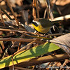 A Common Yellowthroat warbler perched on reeds as it forages for insects.