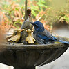 A Scrub Jay taking a bath in the solar fountain in my backyard.