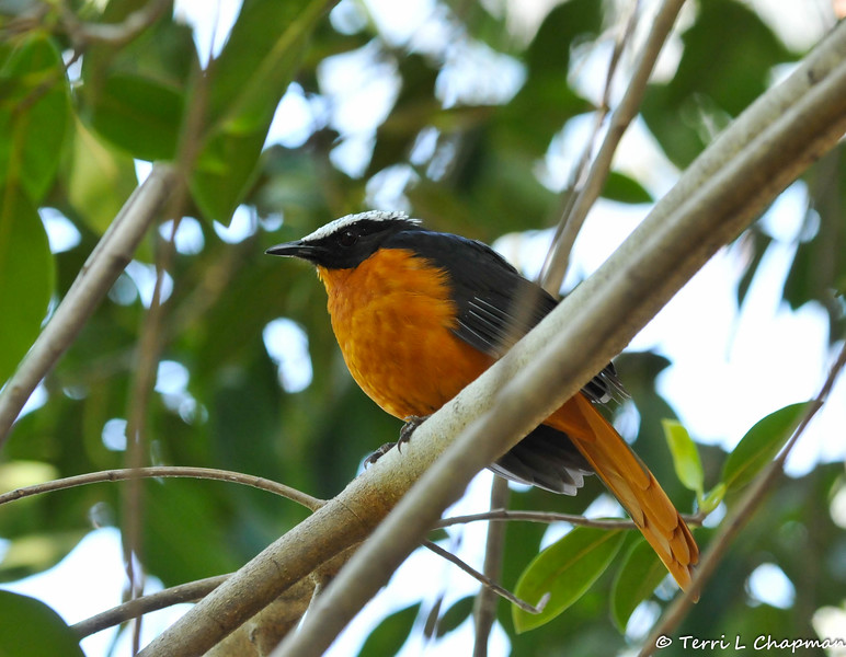 A White crowned Robin Chat photographed in the bird Aviary at the LA Zoo. This beautiful bird is native to Sub-Sahara Africa.