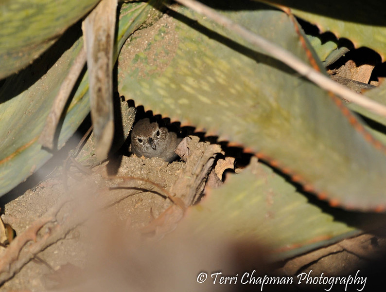 A House Wren underneath an Aloe plant as it forages for insects. It is hard to see, but the wren does have an insect in its bill.
