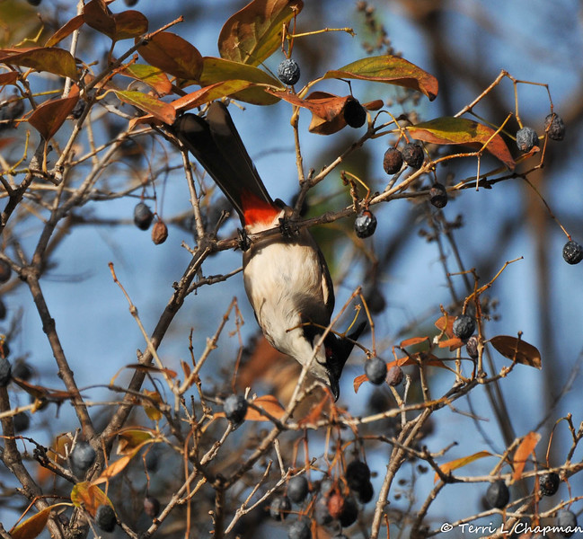 A Red-whiskered Bulbul trying to reach a berry in a Chinese Fringe tree