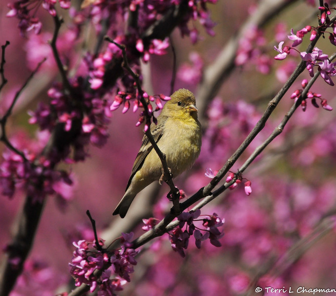 A female Lesser Goldfinch perched in a blooming Eastern Redbud tree.