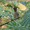 A Bewick's Wren taking a bath with the water droplets on the plant leaves