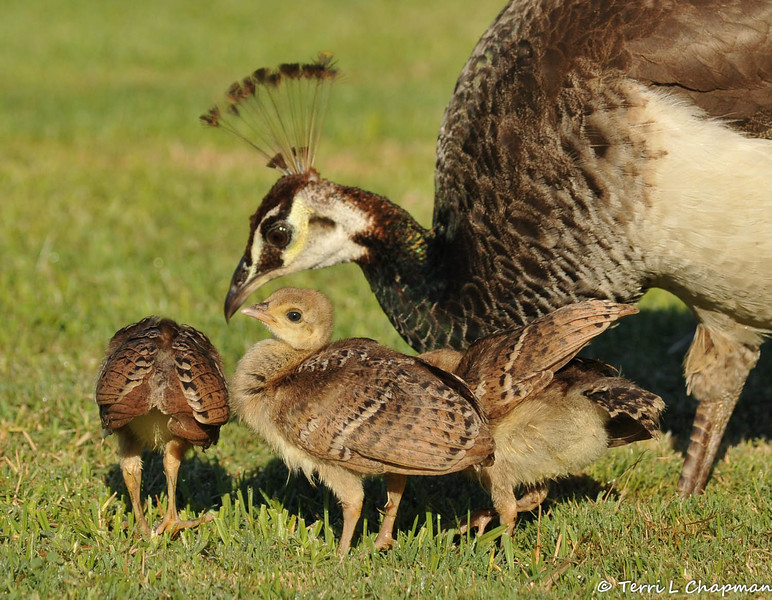 Indian Peachicks with their mother