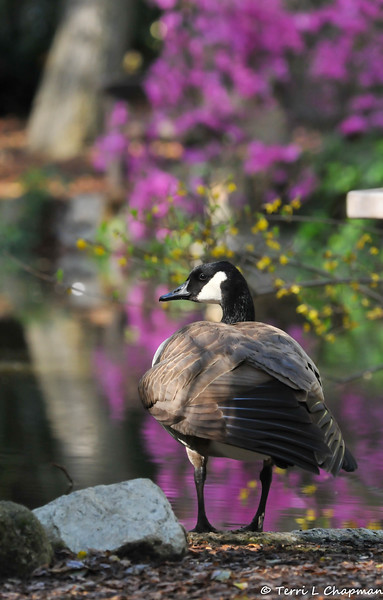 A Canada Goose perched at the edge of the pond at Descano Gardens. In the background is a blooming Eastern Redbud tree.