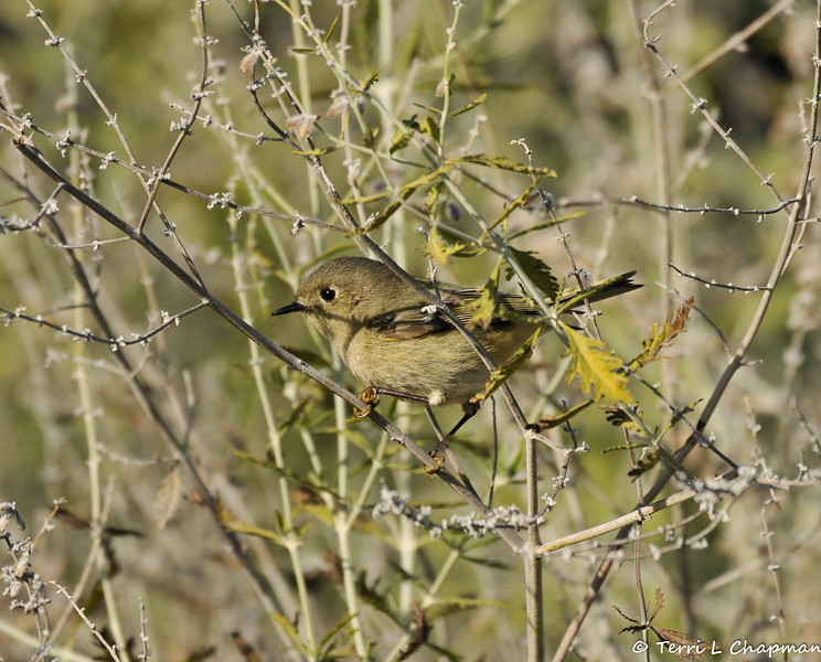 A Rudy-crowned Kinglet