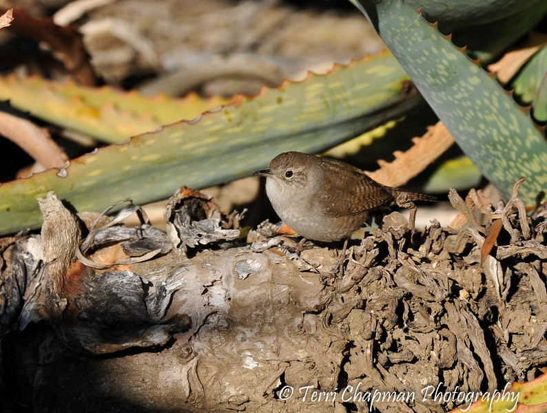 A House Wren perched on an Aloe plant