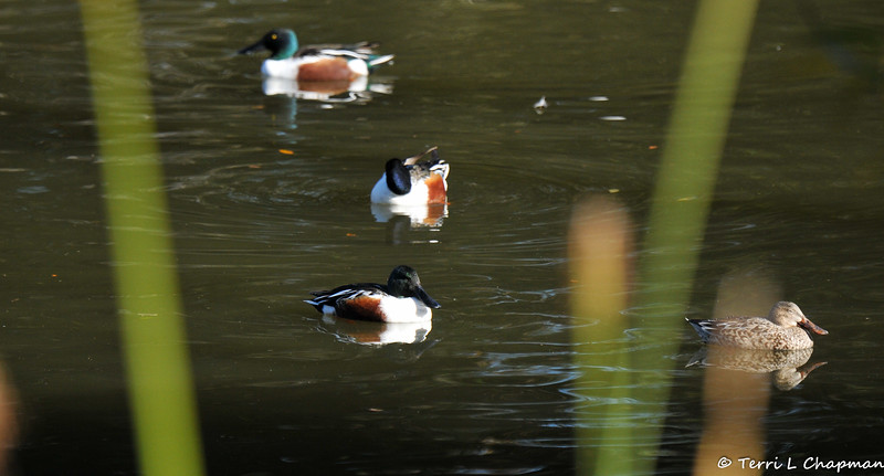Three male Northern Shovelers and one female swimming in a lake