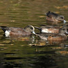 A male American Widgeon with three female widgeons