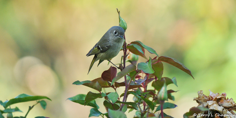 A Ruby-crowned Kinglet perched on the stem of a rose