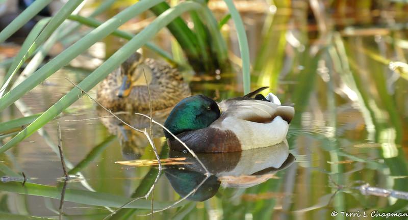A male and female Mallard Duck