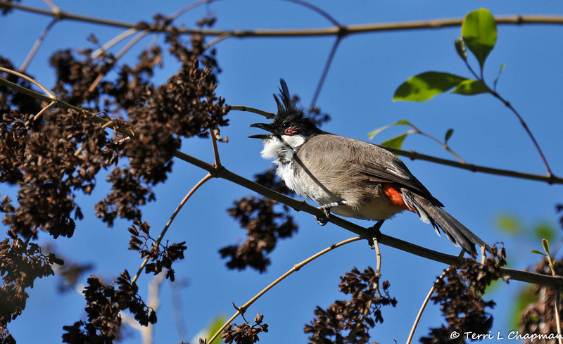 A Red-whiskered Bulbul. This species is native to Asia, but has established itself in Australia, Los Angeles, Hawaii, and Florida in the United States.