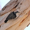 A male Nuttall's Woodpecker searching for insects in the bark of a Eucalyptus tree
