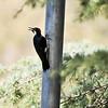 A female Acorn Woodpecker
