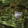 A female American Widgeon