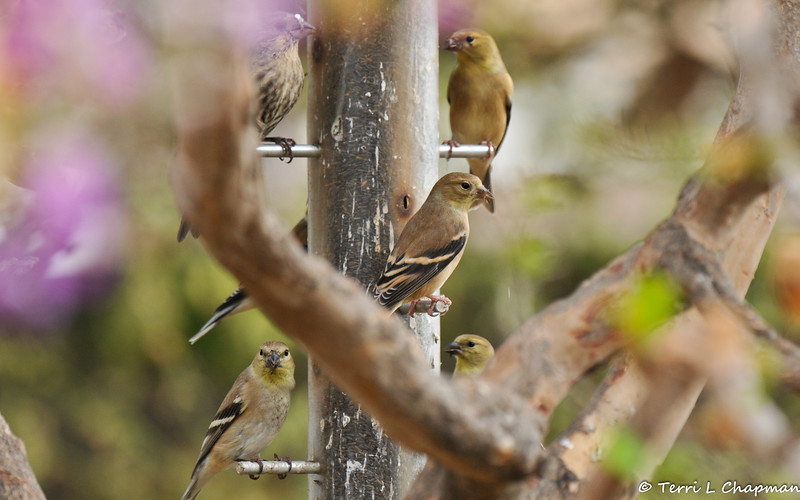 Migrating American Goldfinches at the nyger feeder hanging from my Crape Myrtle tree.