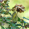 An Orange-crowned Warbler searching for insects under the dead rose