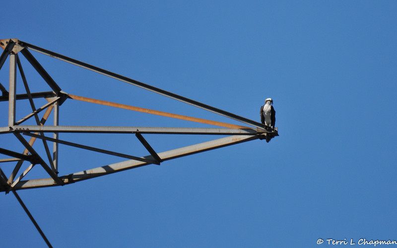 An Osprey perched on an electrical tower overlooking the LA River