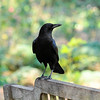 An American Crow perched on a bench in the rose garden at Descanso