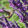 An Allen's Hummingbird sipping nectar from a sage bloom.