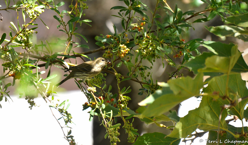 A female Purple Finch eating berries