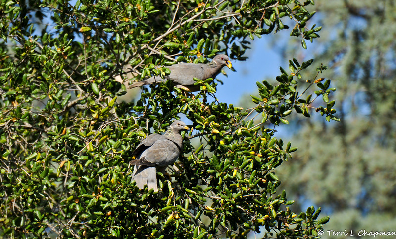 Band-tailed Pigeons eating acorns in an Oak tree...they swallow the acorns whole!!