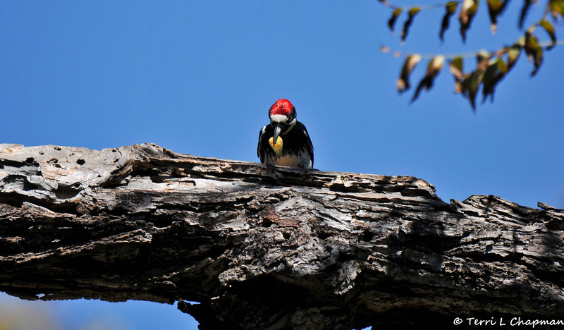 A male Acorn Woodpecker preparing to hide his acorn in the tree trunk