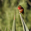 A male Allen's Hummingbird perched on the tip of an Aloe plant