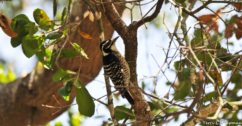 A female Nuttall's Woodpecker