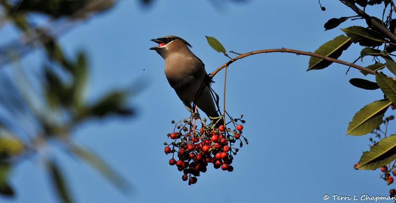 A Cedar Waxwing eating a berry