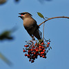 A Cedar Waxwing eating a berry