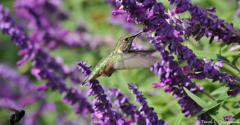 An Allen's Hummingbird sipping nectar from a sage bloom. Can you see the bumble bee in the lower left corner?