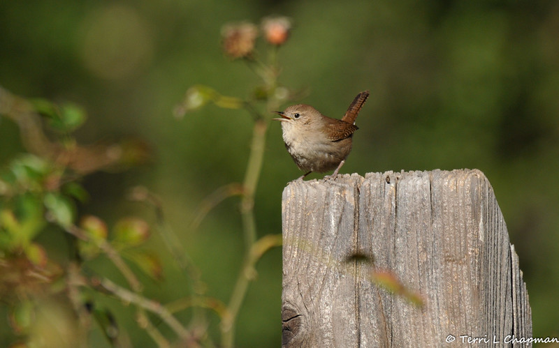 A singing House Wren