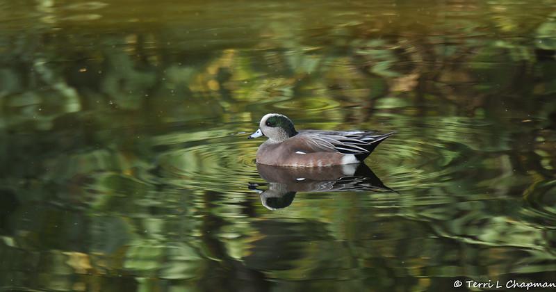 A male American Widgeon