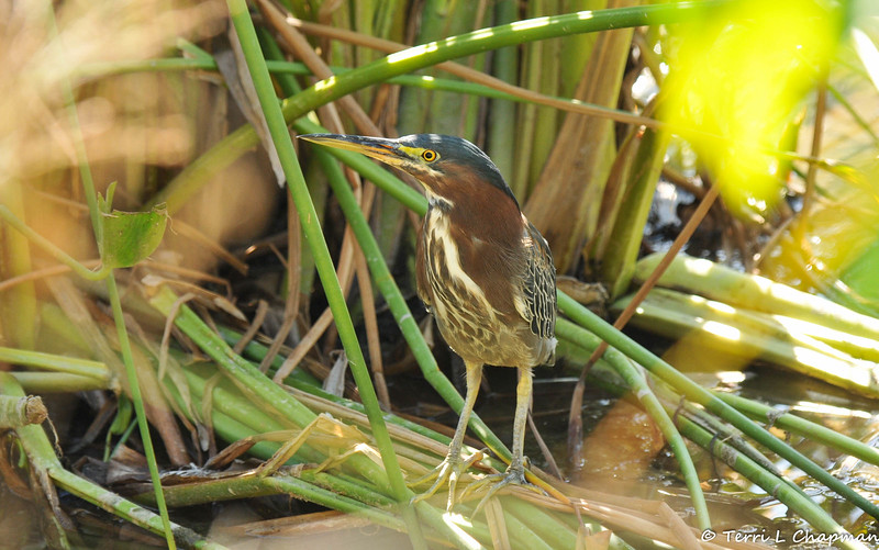An adult Green Heron among reeds as it searches for small fish.