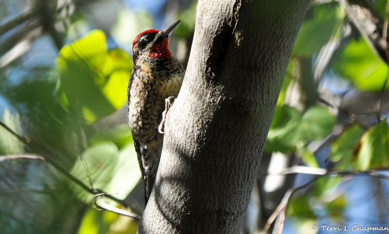 A Red-naped Sapsucker. In all the years I have been photographing birds, I have only seen this species two other times. So, I was excited to stumbled upon this woodpecker when I was actually photographing robins and waxwings in a nearby berry bush.