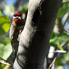 A Red-naped Sapsucker