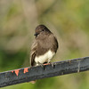 A Black Phoebe perched on a garden trellis