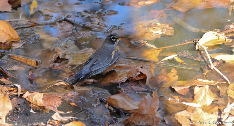 An American Robin taking bath at the bank of a lake.