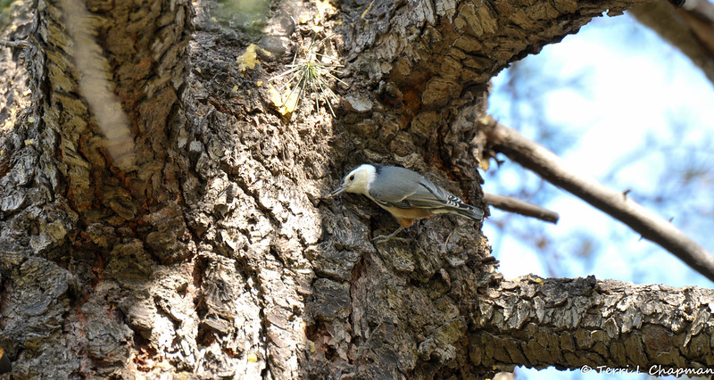 A White-breasted Nuthatch with an insect in its bill.