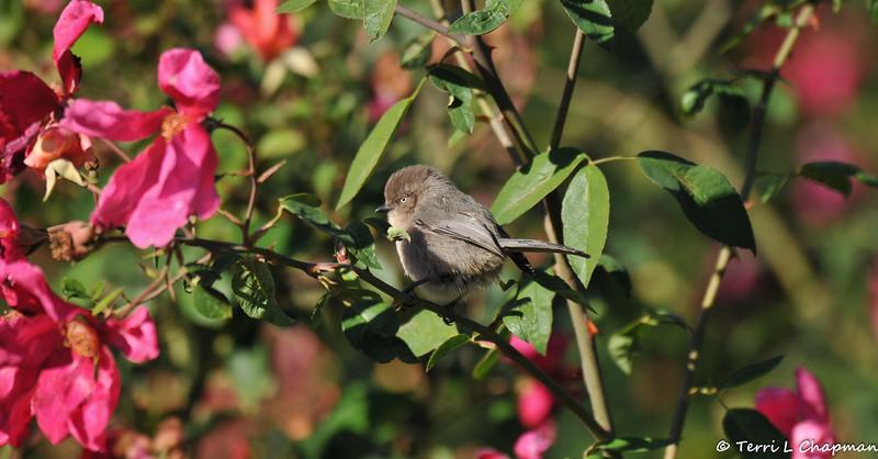 A female Bushtit perched on the stem of a rose bush