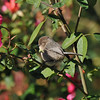 A female Bushtit perched on the stem of a rose bush