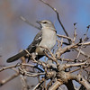 A Northern Mockingbird